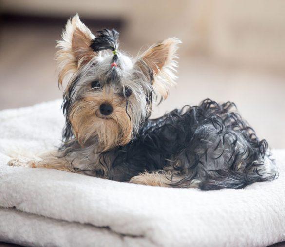 Kleines Hündchen in einem kuscheligen Hundebett.
